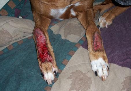 Acral lick na dorzumu prednjih nogu u psa